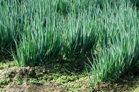 ねぎがたくさん生えているネギ畑